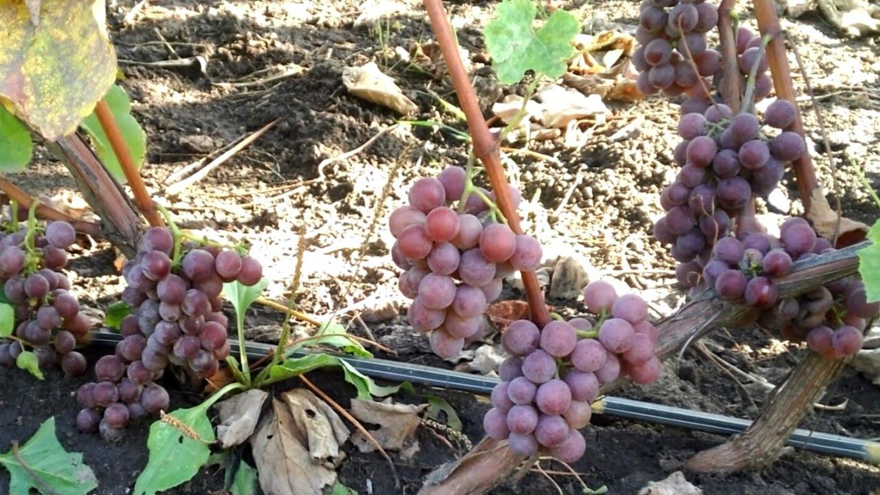 Условия произрастания винограда