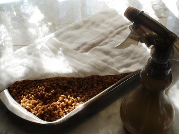 Проращивание ячменного солода