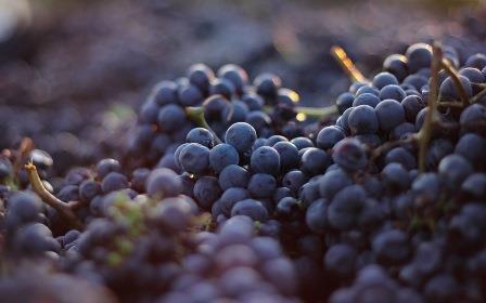 Вмноград Небиолло - основа для созздания вина Бароло.