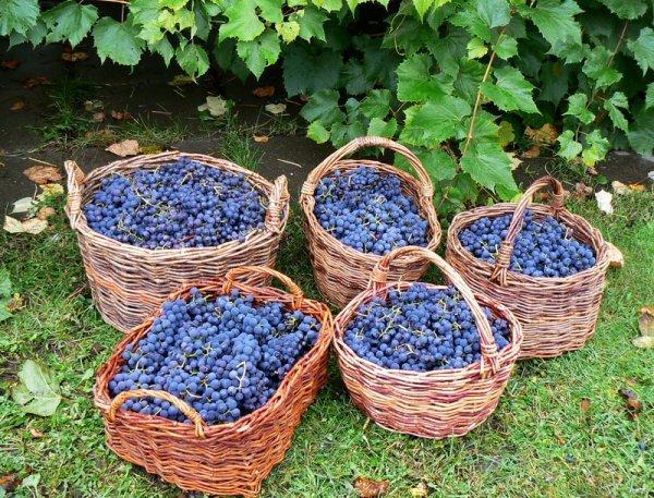 Виноград подготовлен для давления сока
