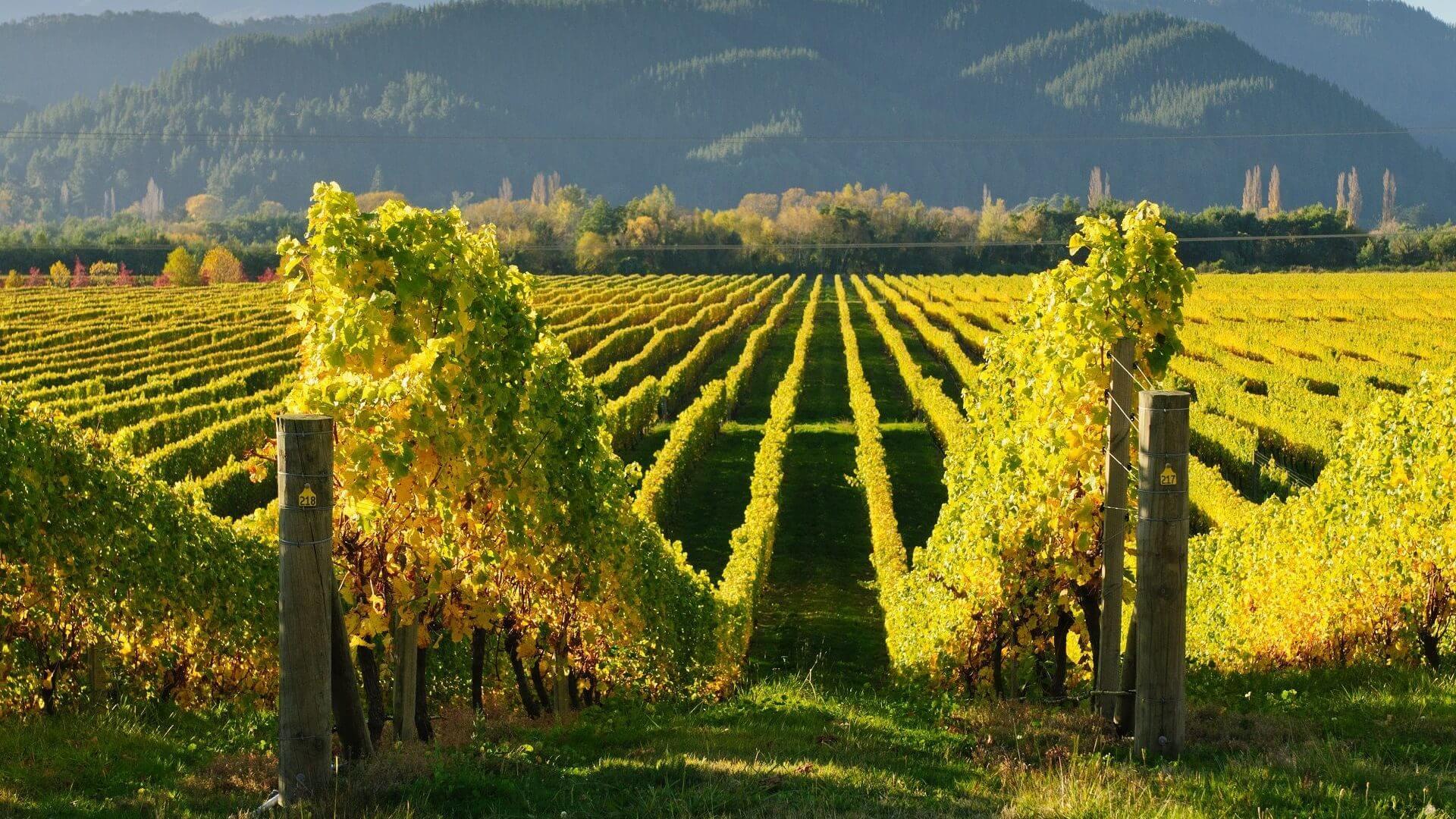 Не смотря на то, что родина Совиньон Блан Франция, данный сорт винограда выращивают в Чили, Австралии и других странах.