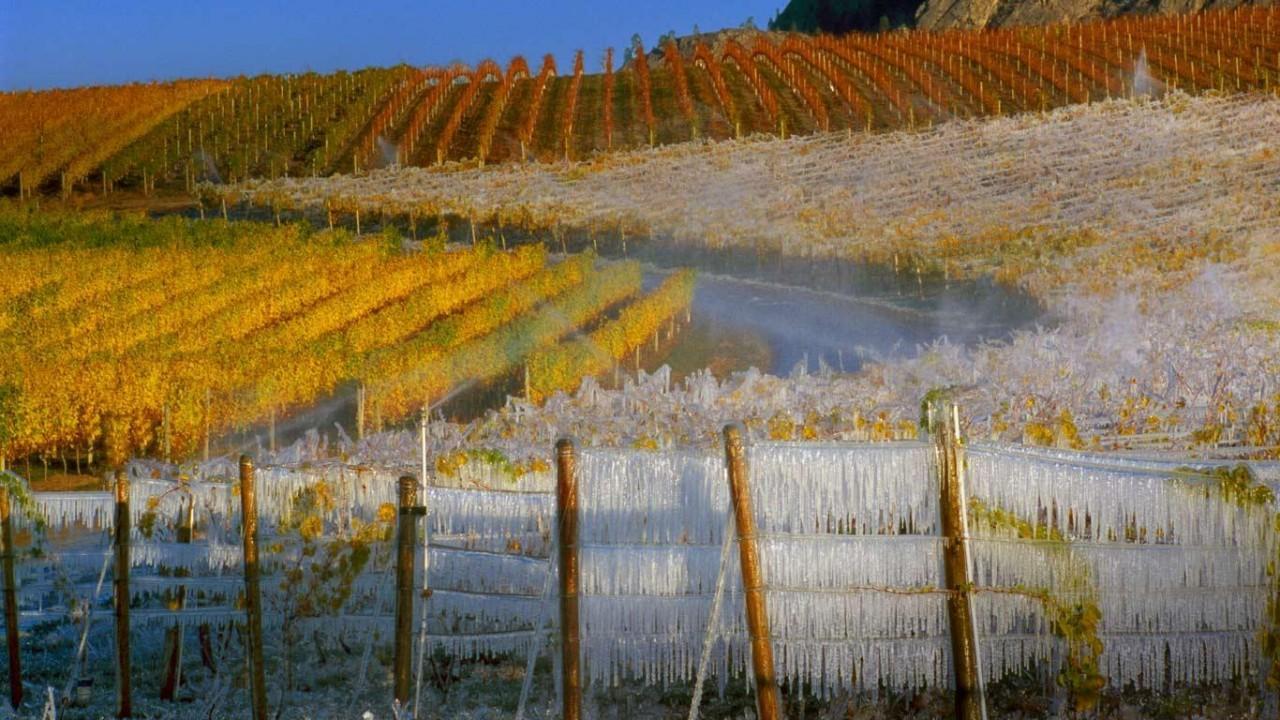 Интересный рецепт - приготовление ледяного вина. для этого ягоды нужно предварительно заморозить.