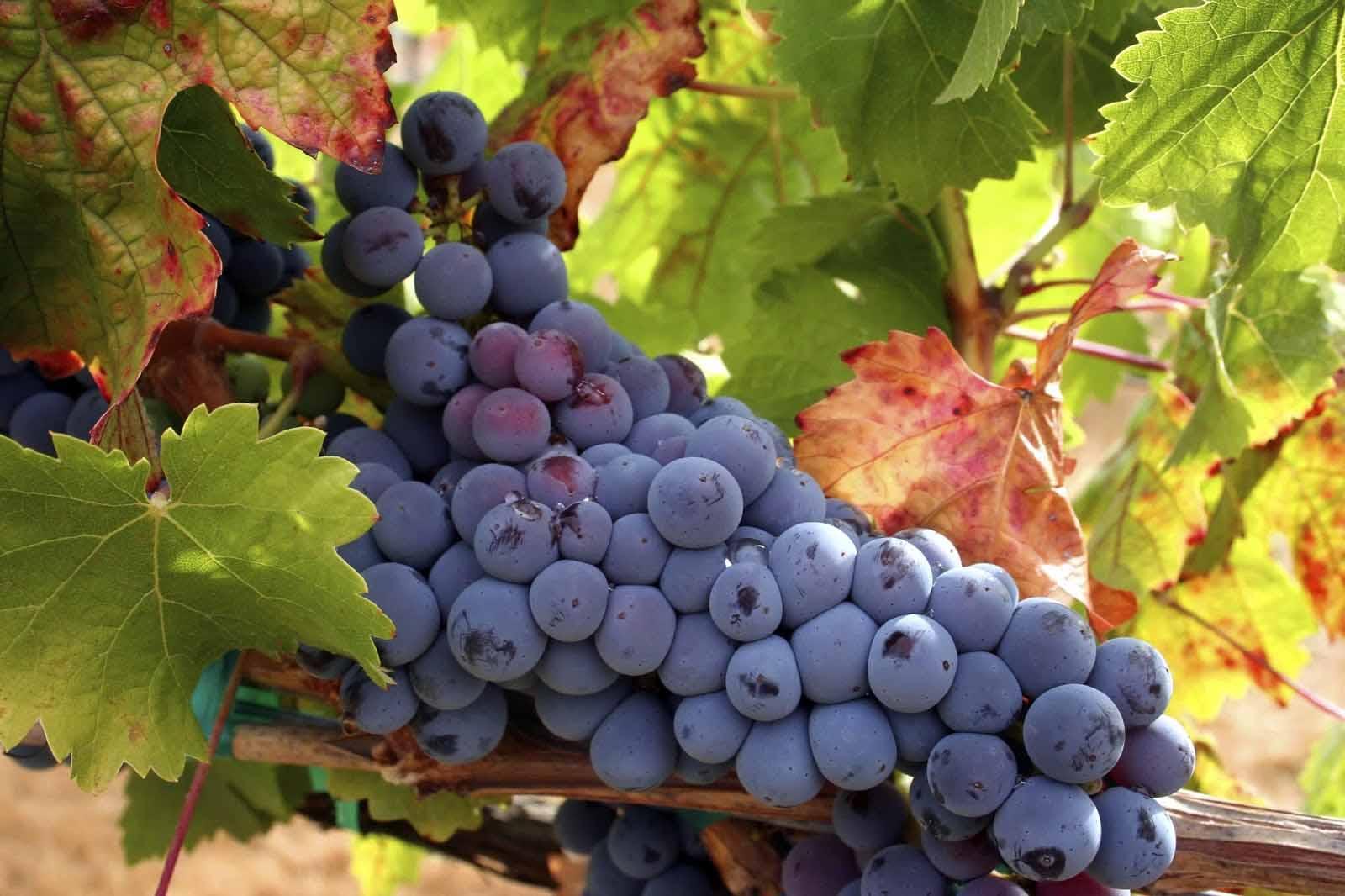 Чтобы приготовить качественное вино в домашних условиях, необходимо использовать только хорошо вызревшие плоды, собранные в сухую погоду, ни в коем случаем не после дождя.