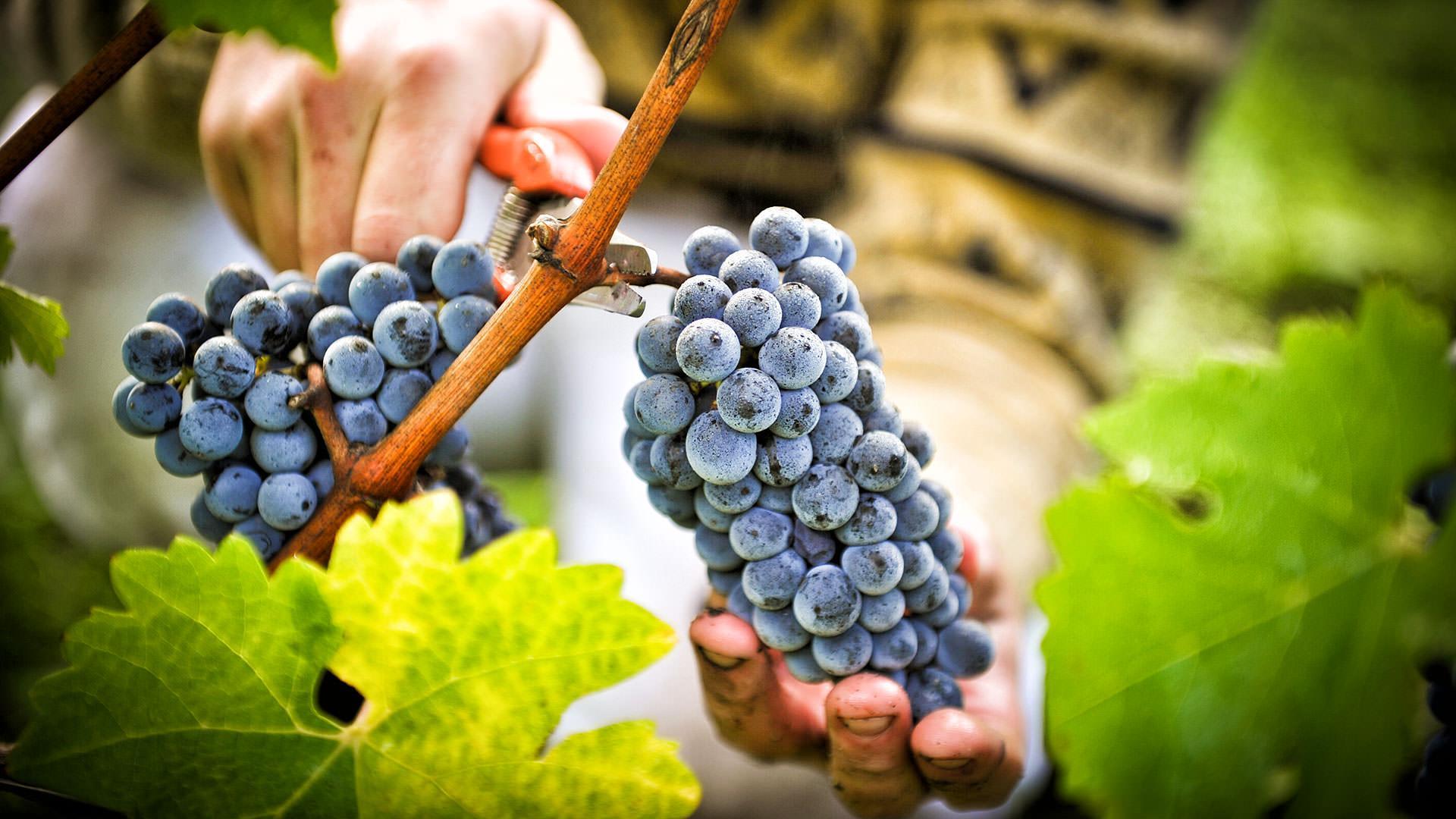 Виноградное вино обладает сильными целебными действиями в борьбе с различными вирусами и инфекциями, а также помогает быстро и эффективно справиться с простудой.
