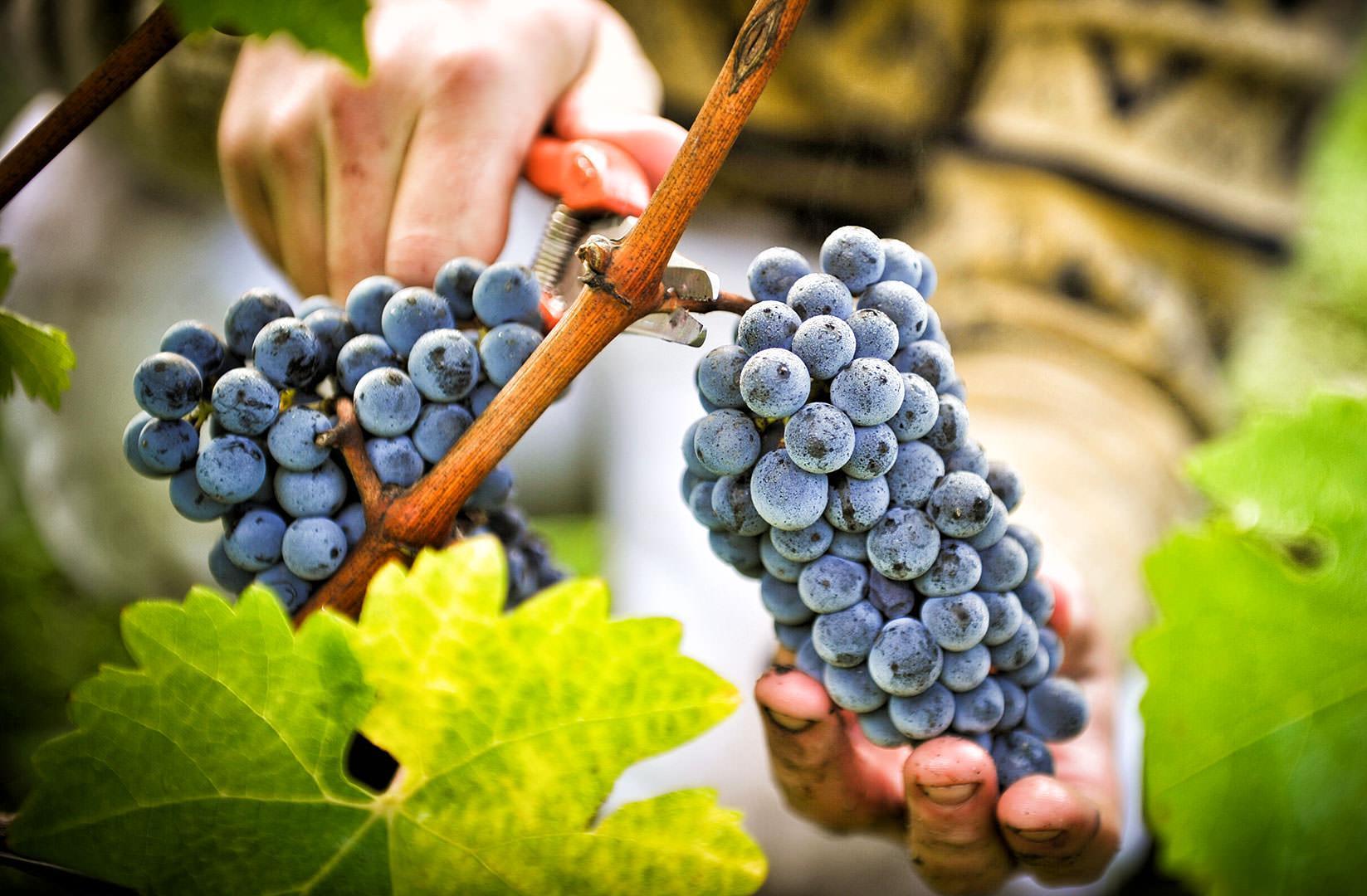 Срез винограда