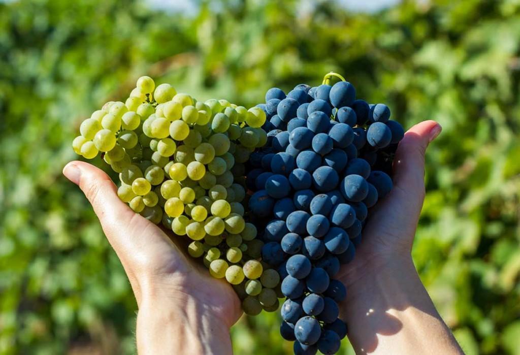 Красные сорта винограда и красные вина