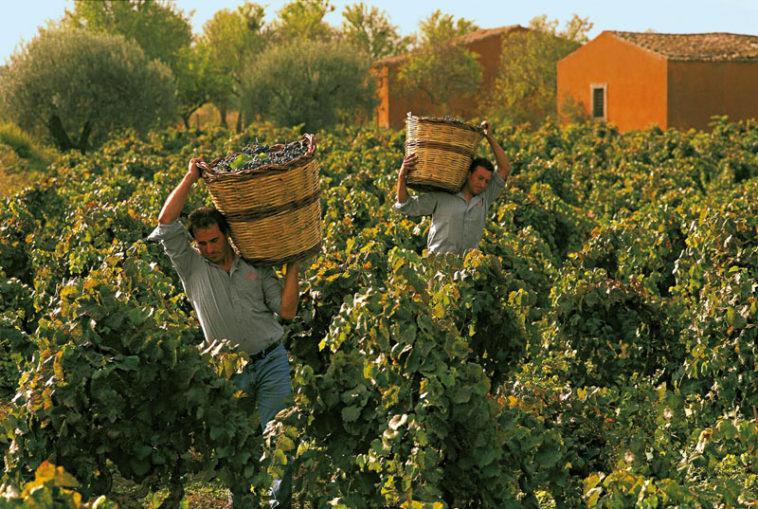 сбор винограда Италия