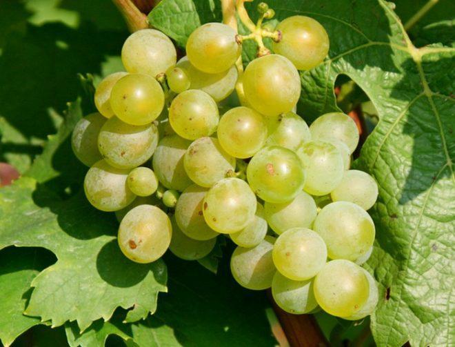 виноград белый мускат