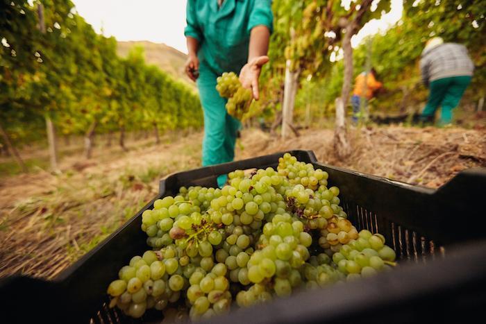 виноградники Франция