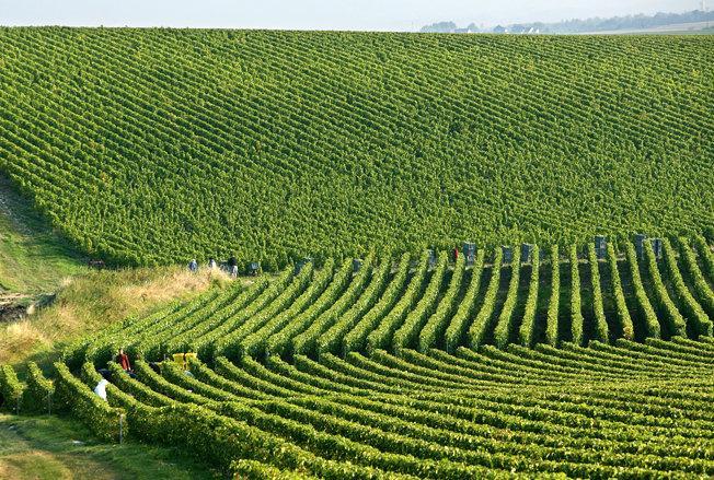 виноградники шампаня
